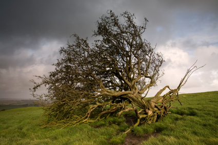 An isolated tree literally toppled over by the wind. This shot is unsharpened and there is some motion blur in a few of the outer branches.
